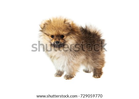 1,5 months pomeranian spitz looks at the camera in white background