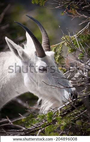 Mountain goat chewing pine needles at Glacier National Park - stock photo