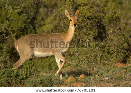 Mountain reedbuck (Redunca fulvorufula) Karoo National Park, South Africa