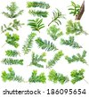 360mpx set yew twig isolated on white background - stock photo