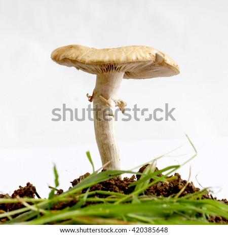 Hyalonema stock illustration 214294837 shutterstock for Mushroom soil