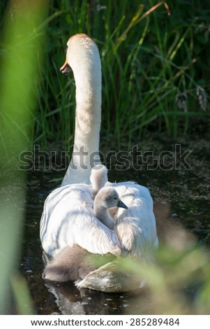 Mute swan, Cygnus olor with young  - stock photo