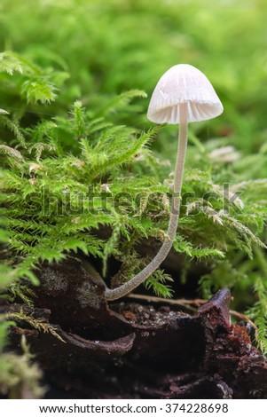 (Mycena sp.) on a dead birch tree, amongst moss. Dunwich Forest. October. - stock photo