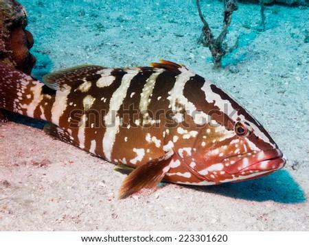 Nassau grouper (Epinephelus striatus) - stock photo
