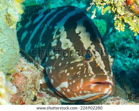 Nassau grouper (Epinephelus striatus) closeup - stock photo