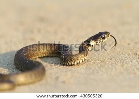 Natrix natrix - grass snake, juvenile on sand near the Black Sea - stock photo