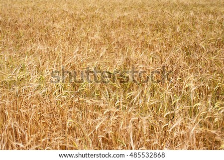 Natural background rye field