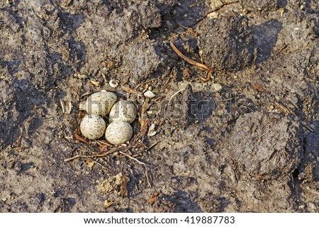 Nest Common ringed plover,nestling, four eggs, camouflage, accounting birds, bird watching