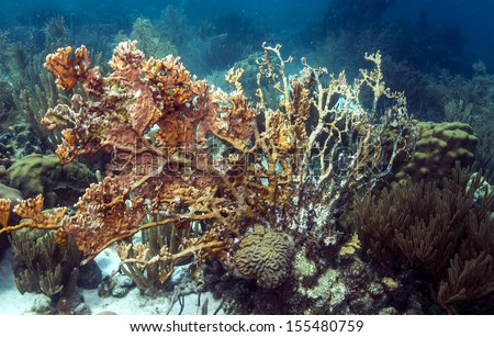 net fire coral is a hydrozoan, consisting of a colony of polyps with a calcareous skeleton