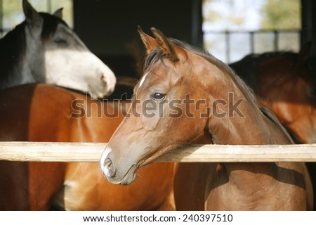 Nice purebred horse watching in his stable. Chestnut colored youngster standing in the barn - stock photo