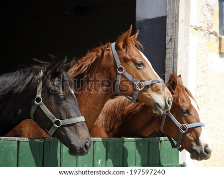 Nice thoroughbred foals iat the stable door.	Youngster horses in the barn - stock photo