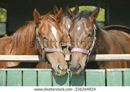 Nice thoroughbred foals in the stable door. Purebred chestnut racing horses in the barn - stock photo