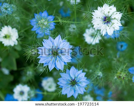 Nigella sativa - nature blue / white flowers, differential focus.  - stock photo