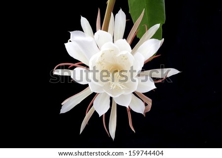 night-blooming cereus  - stock photo