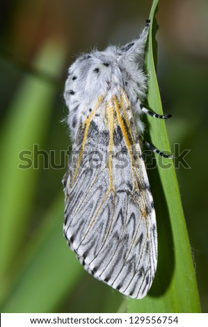 Night butterfly, poplar sphinx male - stock photo