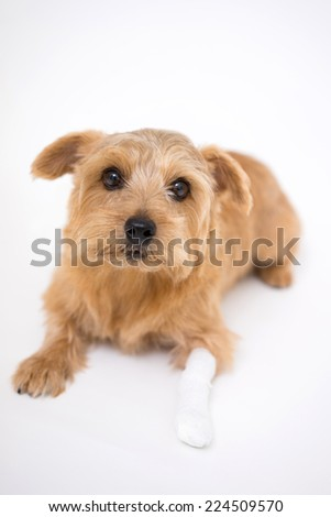 Norfolk terrier dog with an injured leg - stock photo
