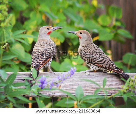 Northern Flickers parent and baby Against a Green Background  - stock photo