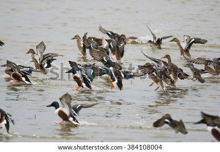northerns shovelers takes flight - stock photo