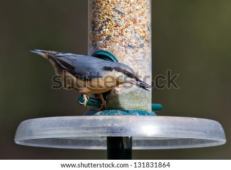 Nuthatch feeding from a bird feeder. - stock photo