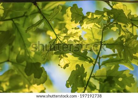Oak leaves on the sun - stock photo