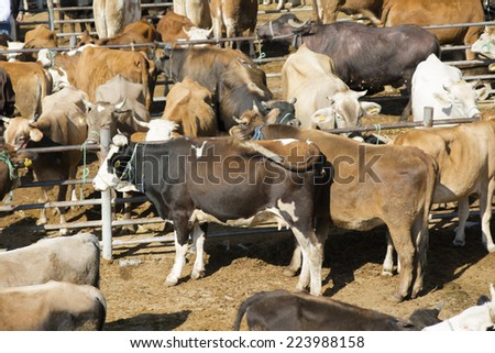 03 October 2014 Sinop, Turkey: Every year Muslims to fulfill their religious beliefs, cows are offered for sale in the markets of sacrificial animals.