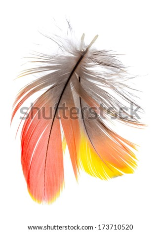 2 of Real MACAW bird Feathers. Natural colors: Red, Yellow,  Grey. Isolated on white background.