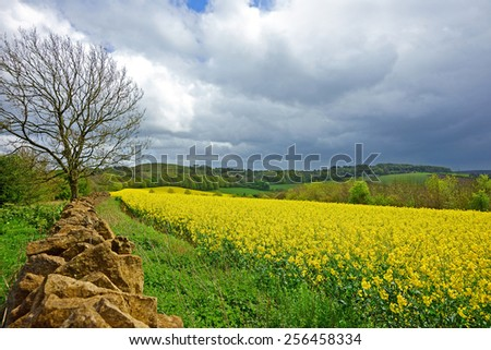 Oil seed rape field in early spring looking towards Painswick Beacon, The Cotswolds, Gloucestershire, United Kingdom. Rape seed is mainly cultivated for bio fuel production                   - stock photo