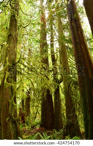 Old growth rain forest  and moss-covered trees on the marymere  falls hike near lake crescent, washington - stock photo