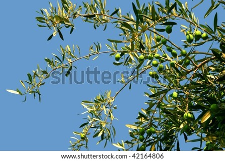 Olive branch with olives - tiff isolated