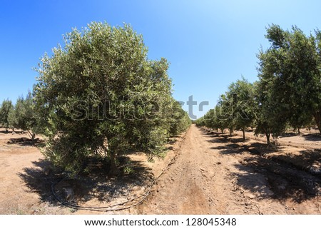Olives growing field - stock photo