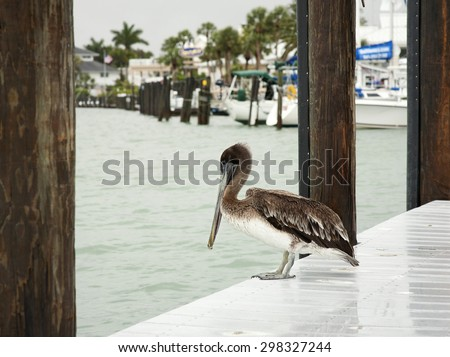 One brown pelicans . Florida, Venice, Sarasota, South Jetty, Gulf of Mexico - stock photo