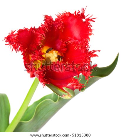 One tulip on isolated background