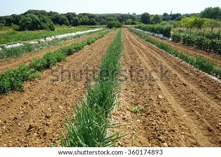Onion field in south France