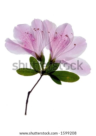 open pink azalea - stock photo