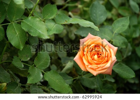 Orange rose with green leaf background