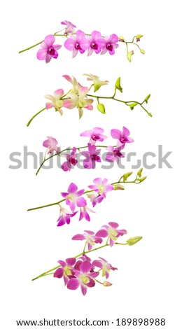 orchid flower on white background. - stock photo