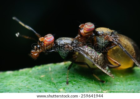 Oriental Fruit Fly - stock photo