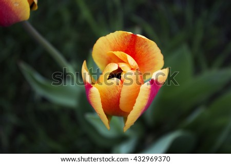 Outdoor Garden Tulips. red and yellow-red tulips