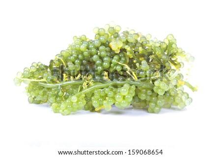 Oval sea grapes seaweed - stock photo