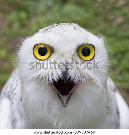 Owl staring with golden eyes - stock photo