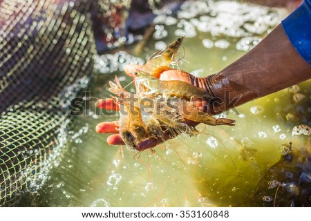 Pacific white Shrimp shrimp is native to North America. This type of shrimp aquaculture in Ecuador, Mexico, Peru, Colombia, Panama, Honduras and Brazil, which produce a lot.  - stock photo