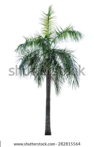 palm tree isolated on white.  - stock photo