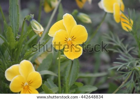 Pansies close up. Bright yellow flower.. yellow odorata (Sweet yellow, English yellow, Common yellow, or Garden yellow) blooming in spring close-up.  - stock photo