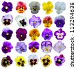 25 Pansies flowers on White background - stock photo