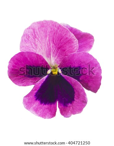 Pansies isolated on a white background - stock photo