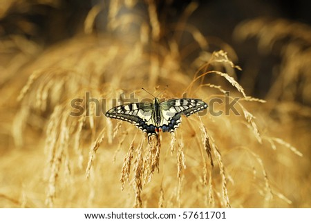 """Papilio multicaudatus""  butterfly resting on grass"