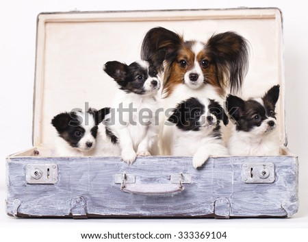 Papillon dogs mother and her puppies - stock photo