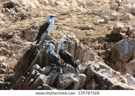 Paracas and the Ballestas Islands seabirds coast of peru pacific ocean hunters of fish and shellfish