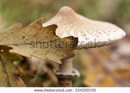 Parasol mushroom (Macrolepiota procera or Lepiota procera) in the forest, macro (selective focus) - stock photo