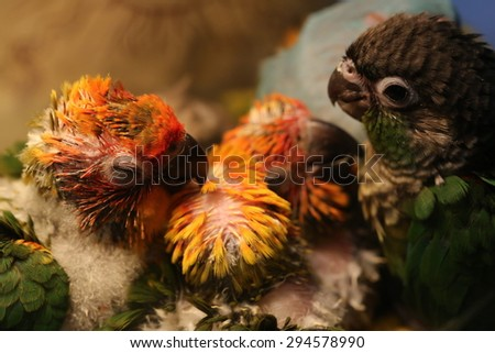 parrot baby - stock photo